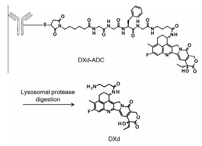 Structures of DXd-ADC